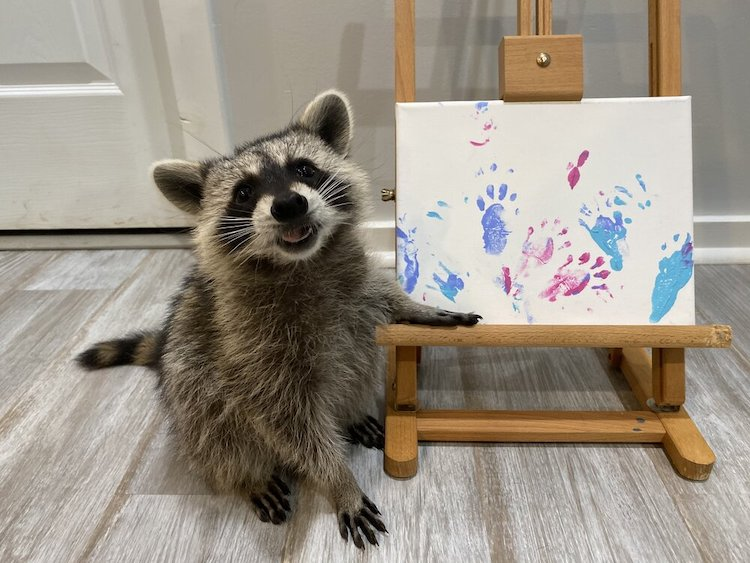 Image: A racoon proudly presenting their painted work.