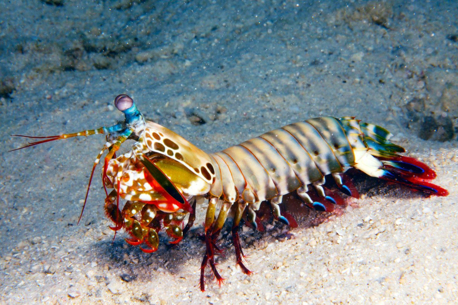The colorful but dangerous mantis shrimp.